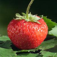 Itasca Strawberry