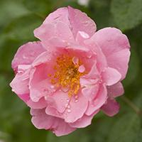 'Summer Waltz' Rose.
