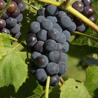 Bluebell Table Grapes